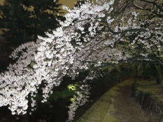 しだれ桜IMG_0104.JPG