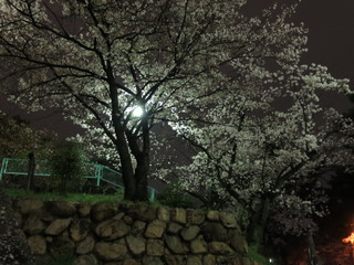 sakura IMG_0102.JPG